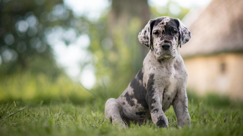 Great Dane puppy wallpaper