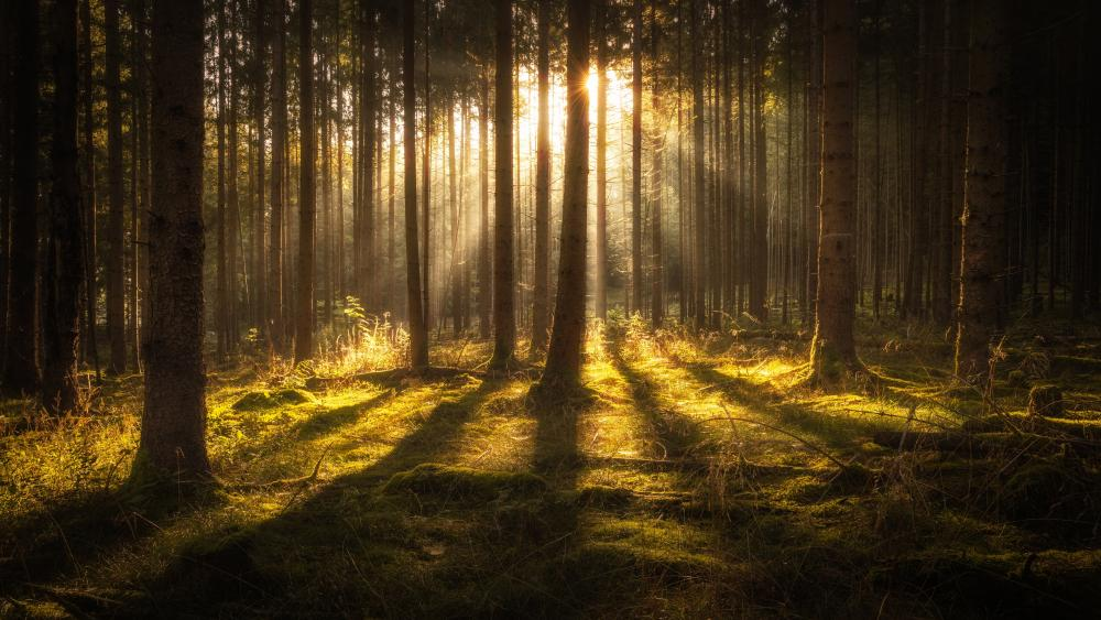 Rays of sun in the deep forest wallpaper