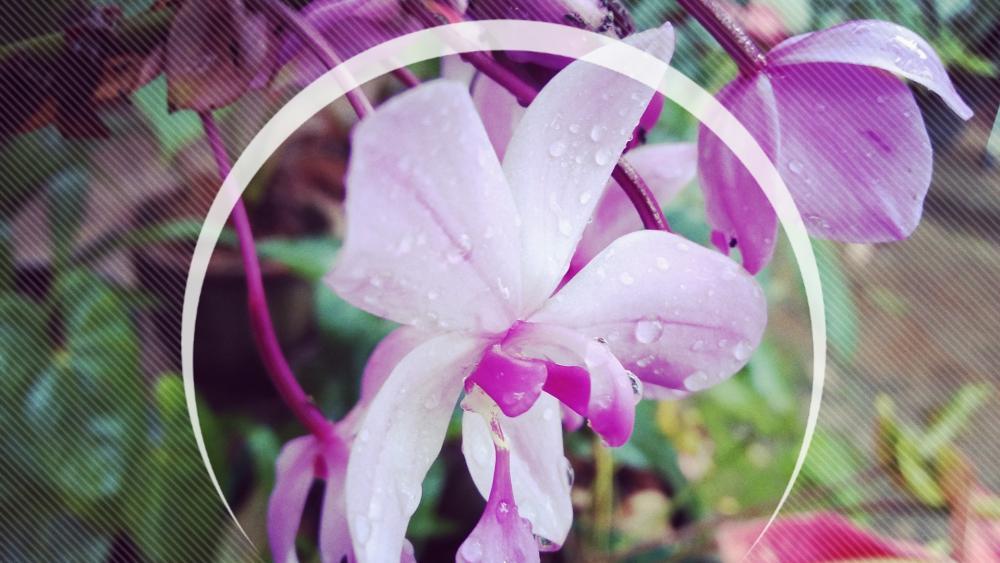 Purple orchid flower wallpaper