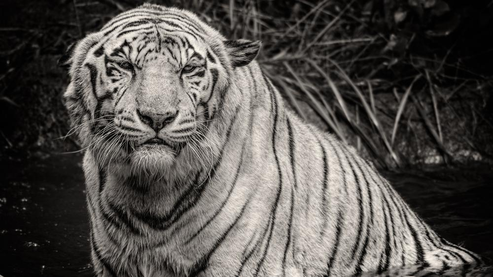 Monochrome bathing tiger photo wallpaper