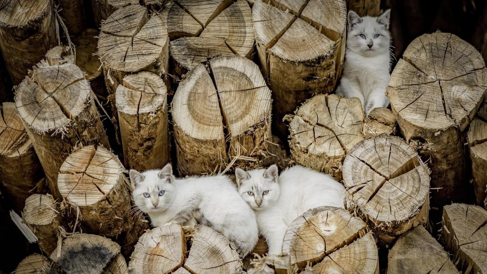 White cats among tree logs wallpaper