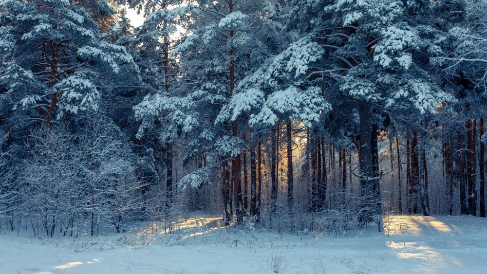 Wintertime in a fir forest wallpaper