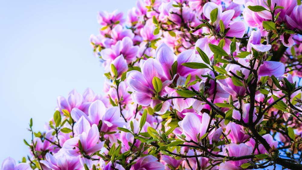 Blooming pink Magnolia tree wallpaper