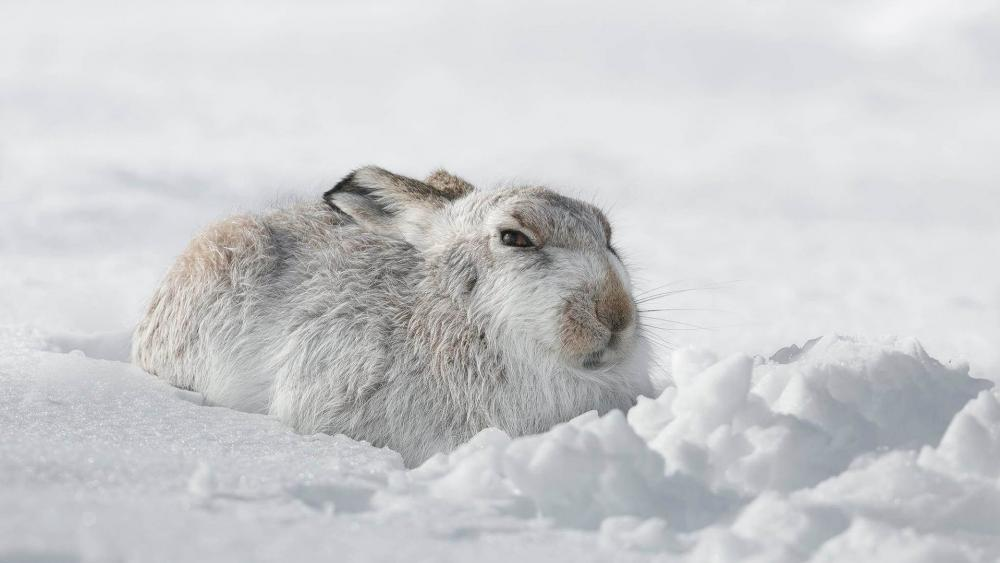 Snowshoe hare in the snow wallpaper