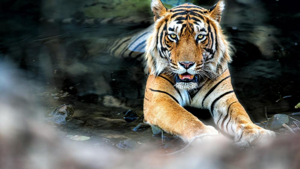 Bengal Tiger Bathing wallpaper