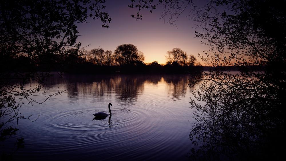 Swan on the lake wallpaper