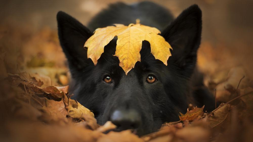 Black dog wallpaper