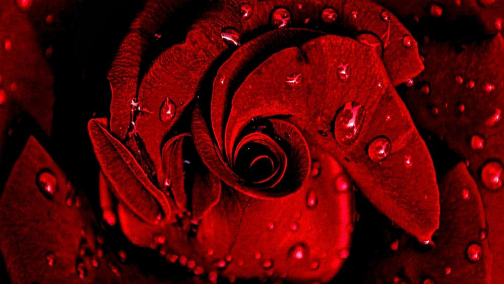 Drops of Roses wallpaper