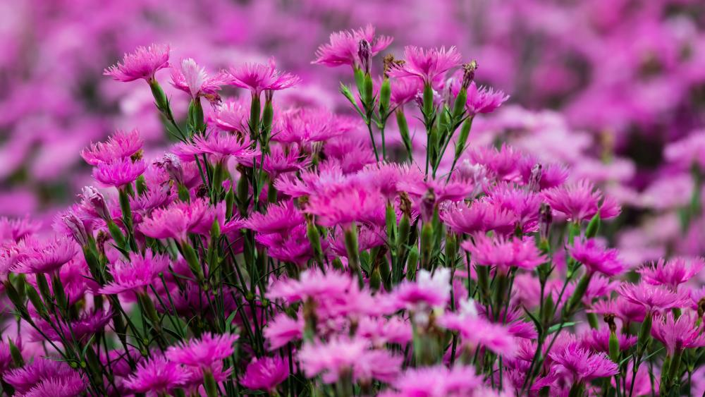 Blooming pink Dianthus flowers wallpaper