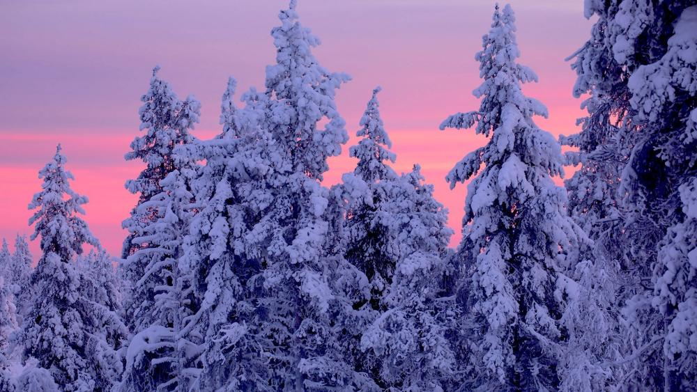 Snowy spruces wallpaper