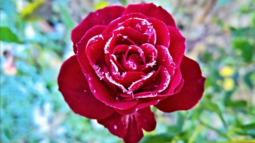 Hoary red rose wallpaper