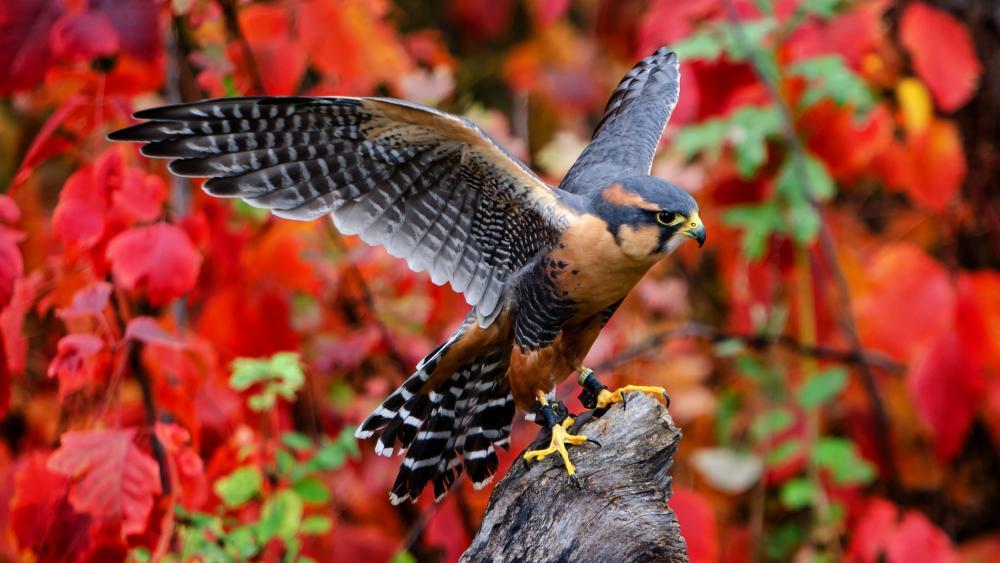 Aplomado falcon wallpaper