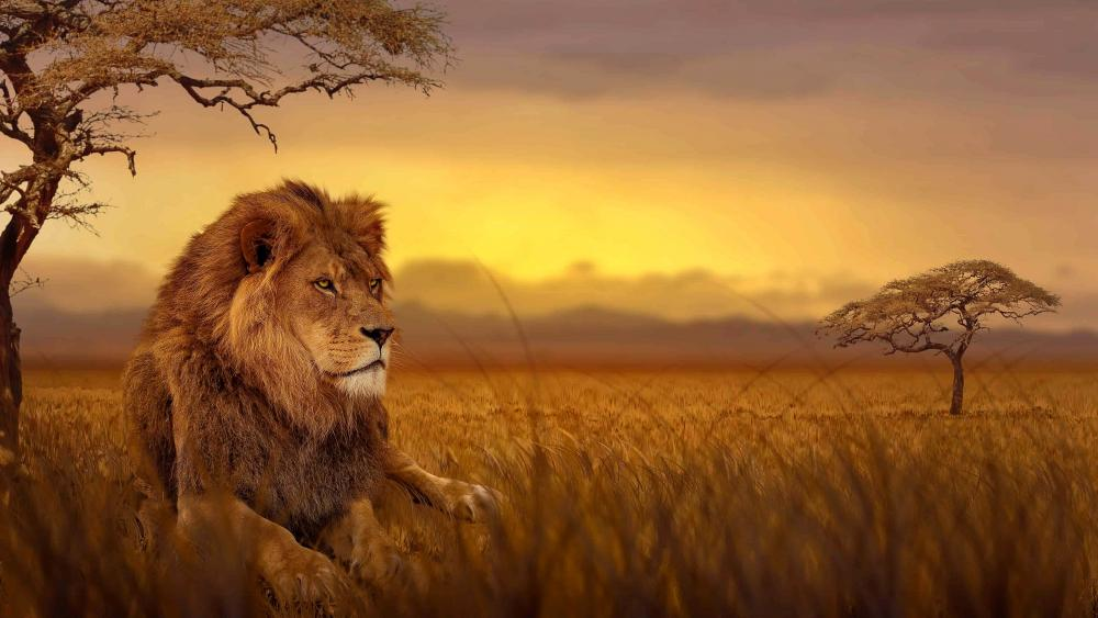 Lion on African Savanna wallpaper