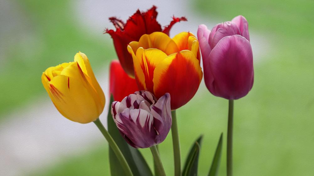 Spring tulips wallpaper