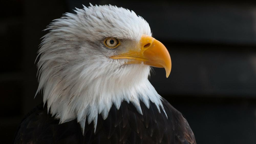 The bald eagle wallpaper