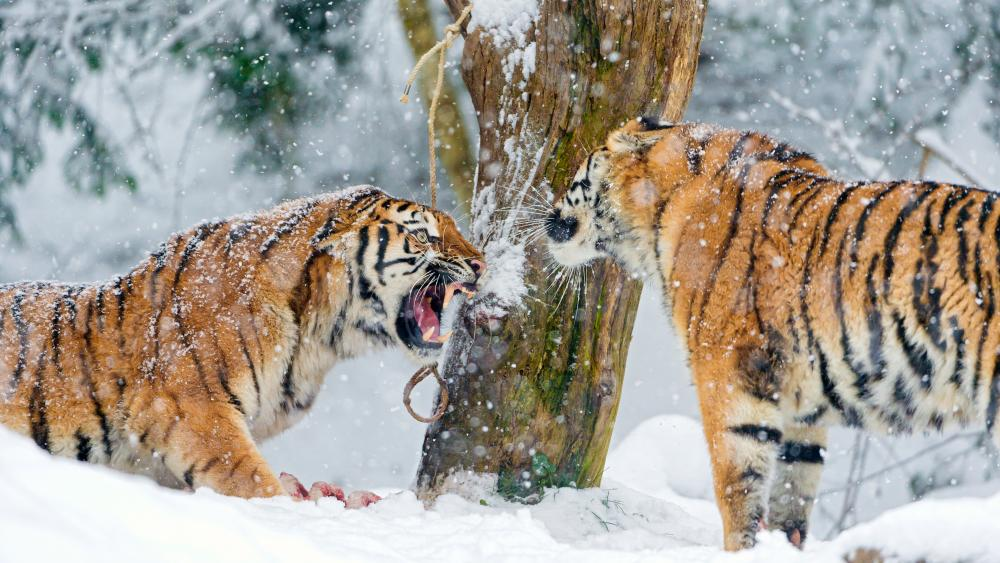 Siberian Tigers wallpaper
