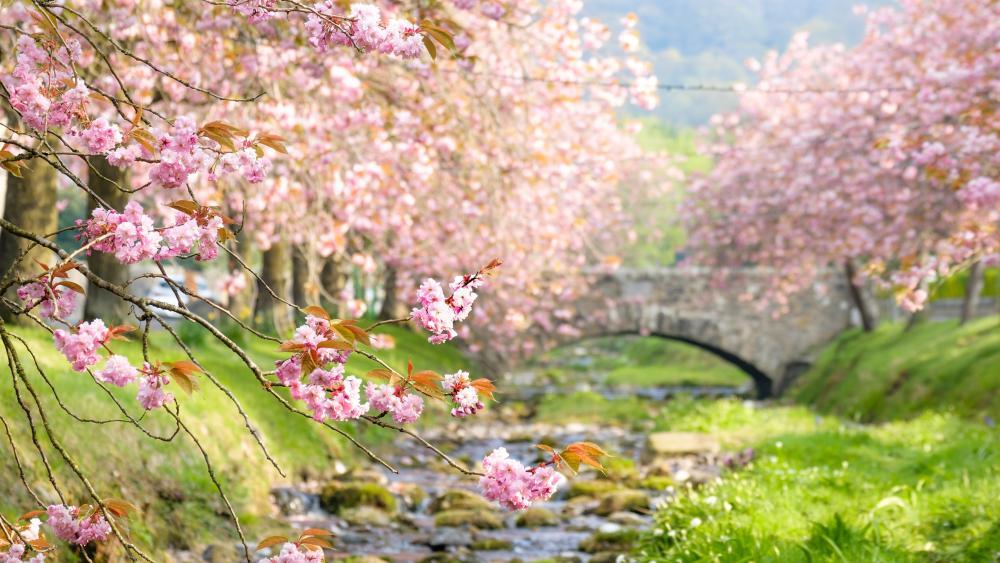 Blooming cherry tree lane wallpaper