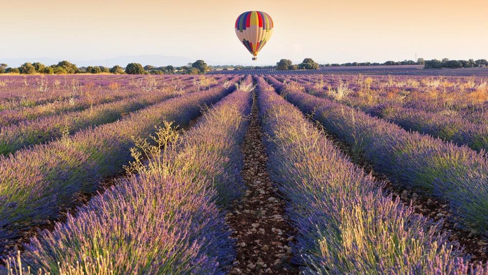 Air balloon over Lavender field wallpaper