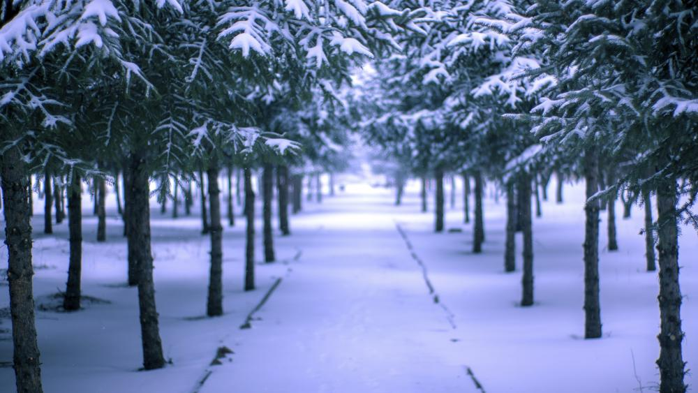 Snowy pine grove wallpaper