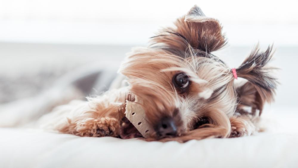 Sweet Yorkshire Terrier wallpaper