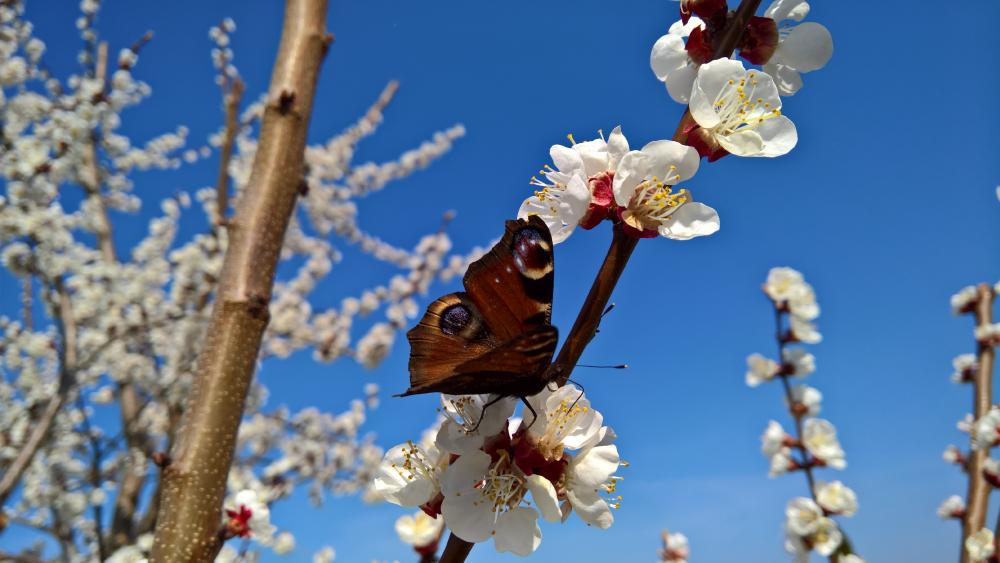 Butterfly on blooming twig 🦋 wallpaper