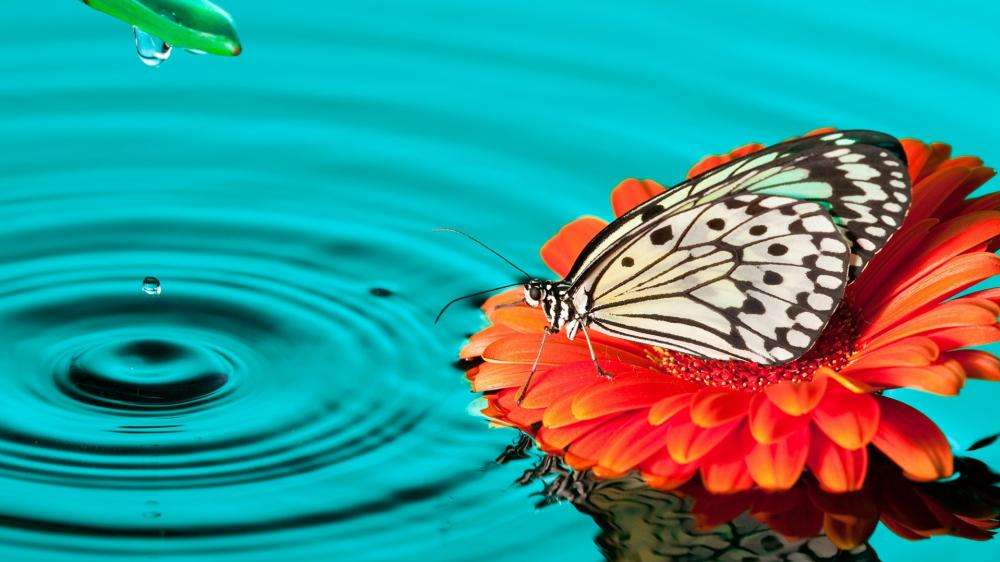 Drinking butterfly wallpaper