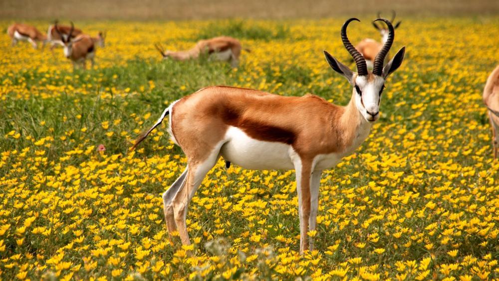 Antelope grazing on a flower meadow wallpaper