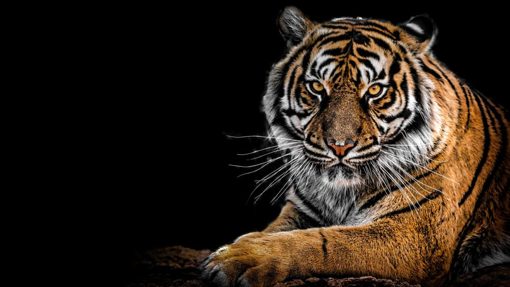 Beautiful Tiger wallpaper
