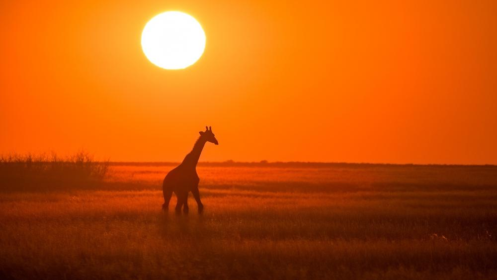 Silhouette of a giraffe wallpaper