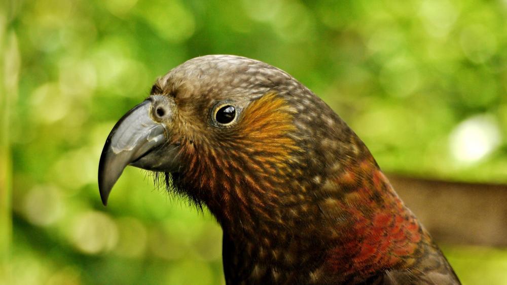 Parrot from New Zealand wallpaper