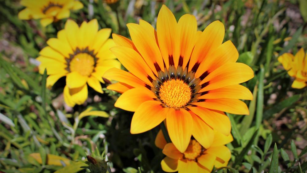 Orange Wildflower wallpaper