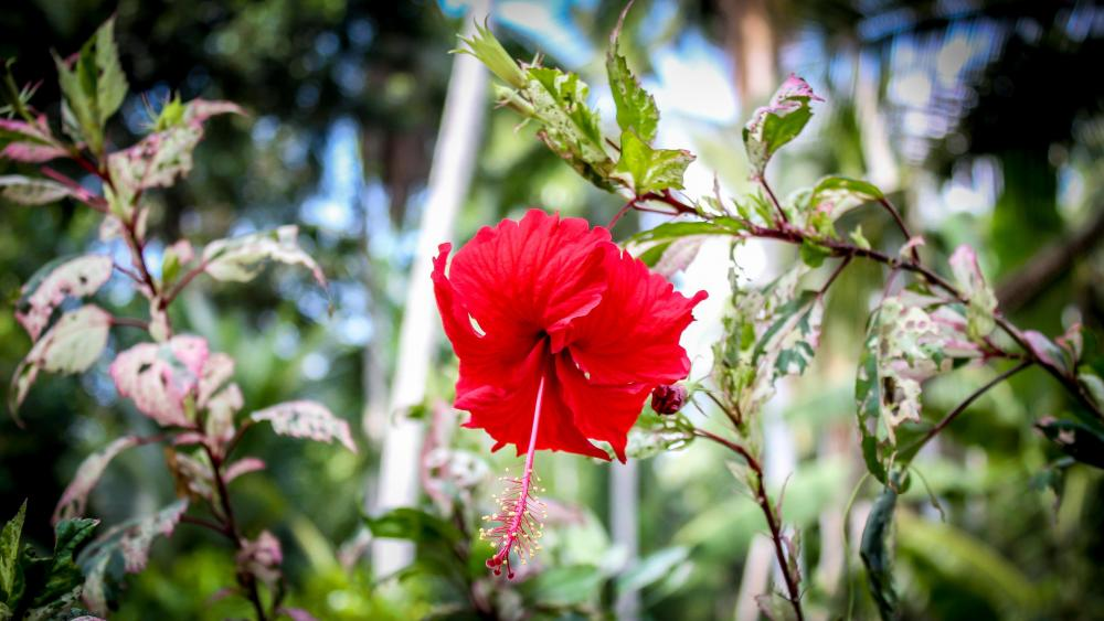 Red Hibiscus Flower wallpaper