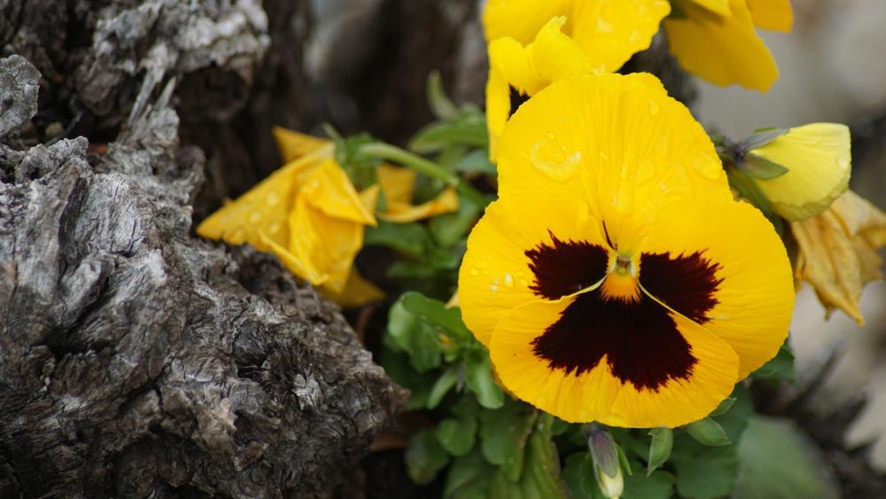 Yellow Pansy flower wallpaper
