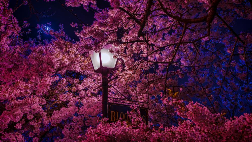 Sakura blossom in the street light wallpaper