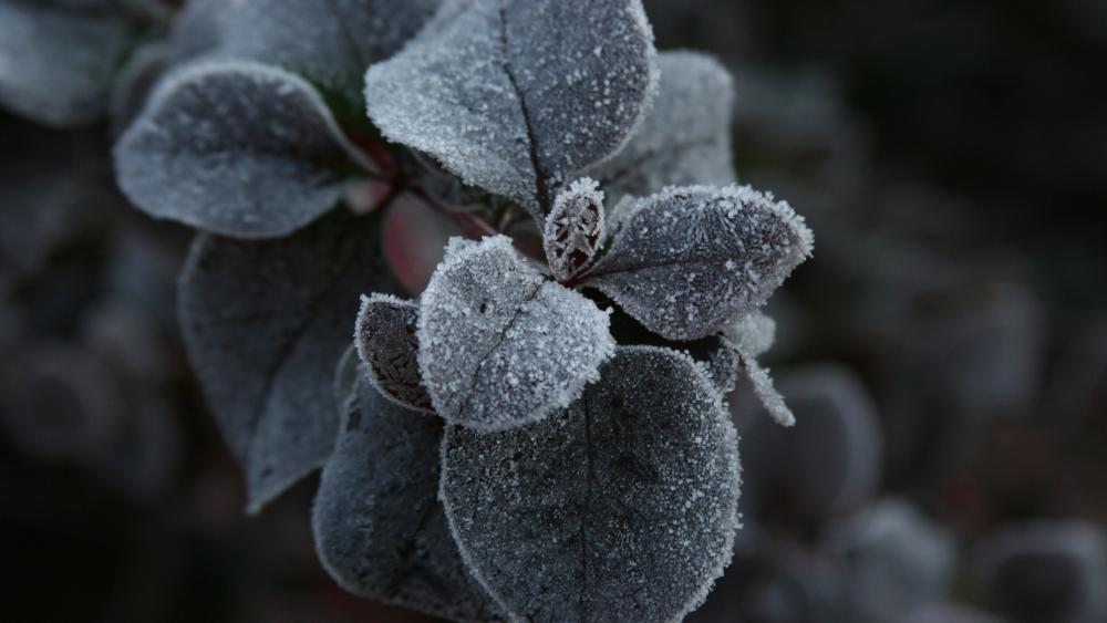Frozen plant wallpaper