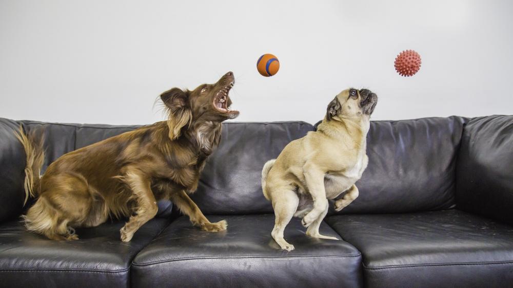 Dogs: Labrador and pug wallpaper