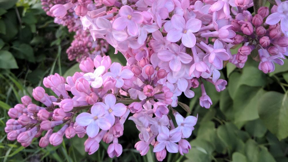 Lilac flower wallpaper