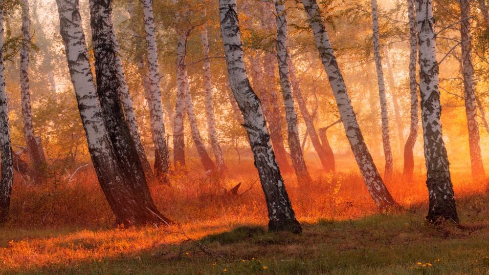 Birch forest in the sunlight wallpaper