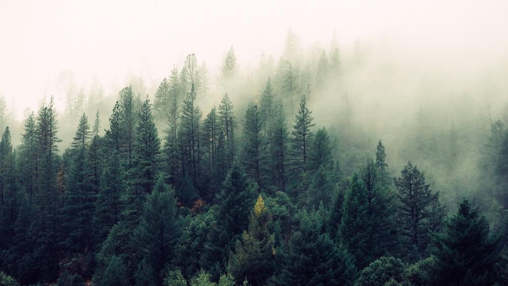 Foggy evergreen forest wallpaper