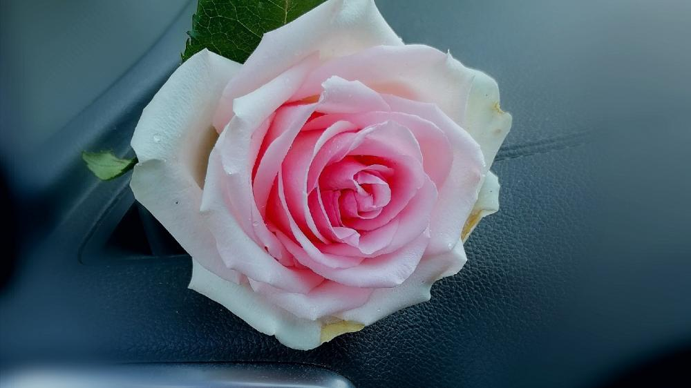 Blurry pink rose wallpaper