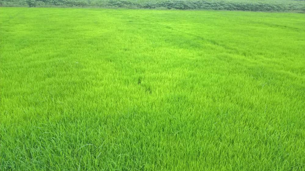 Green paddy field wallpaper