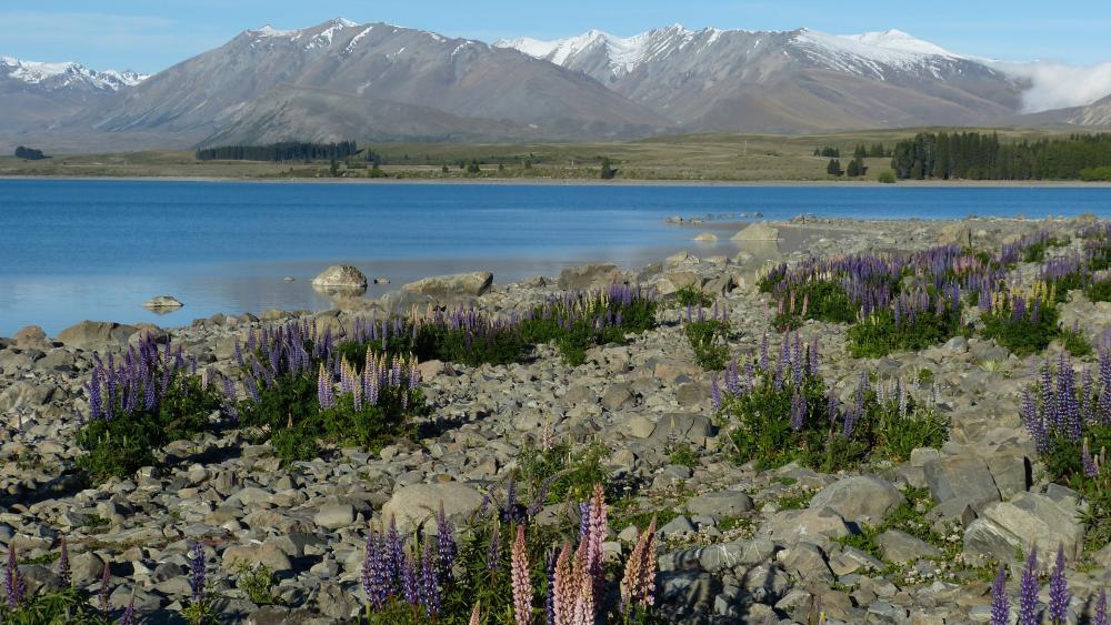 Lake Tekapo lupins wallpaper