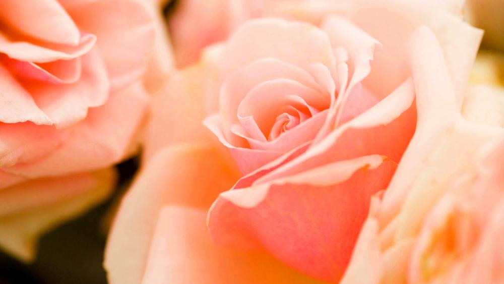 Pale pink roses wallpaper