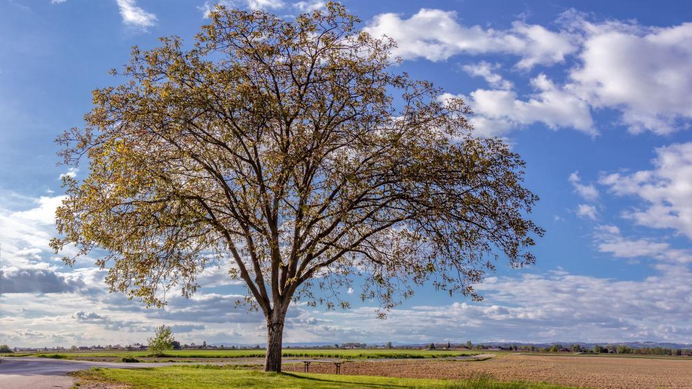 Solitary tree at spring wallpaper