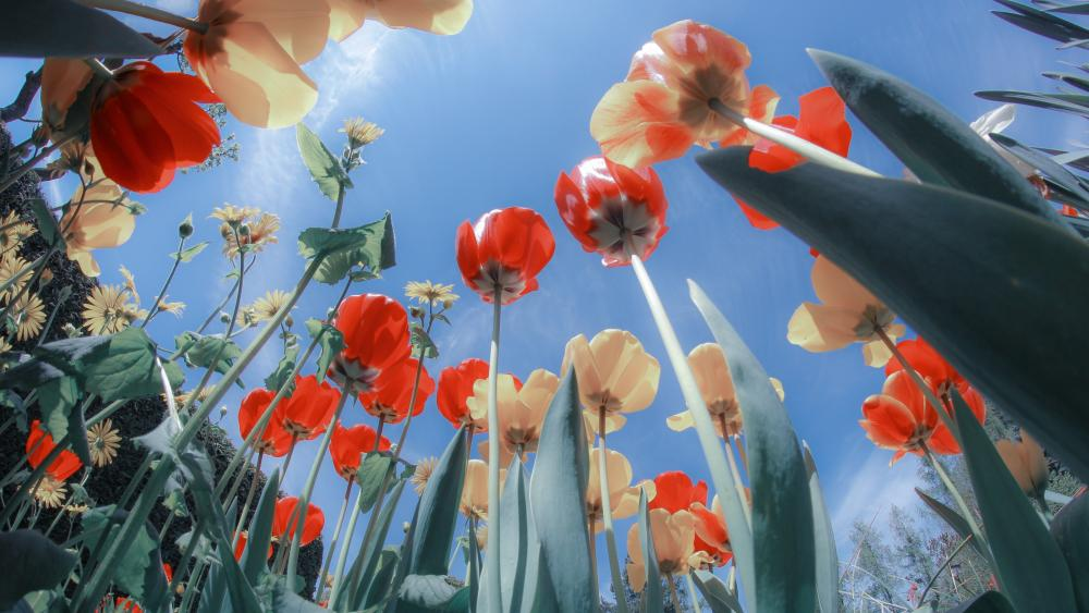 Tulips in the sunshine worm's-eye view photo wallpaper
