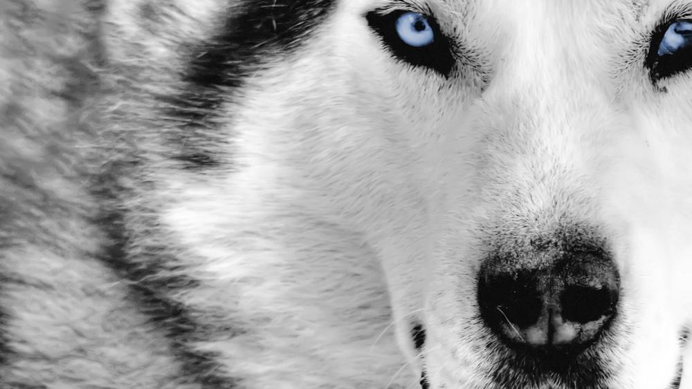 Blue eyed husky wallpaper