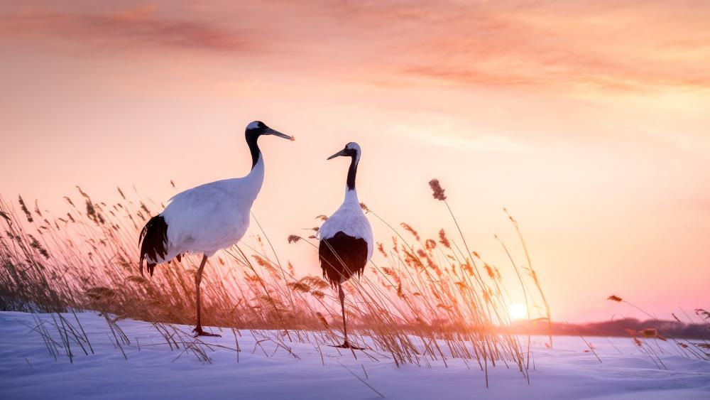 Red-crowned crane wallpaper