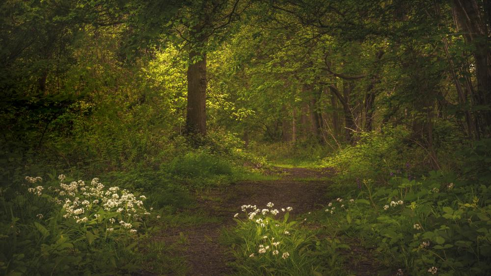 Ramsons among the forest trail wallpaper