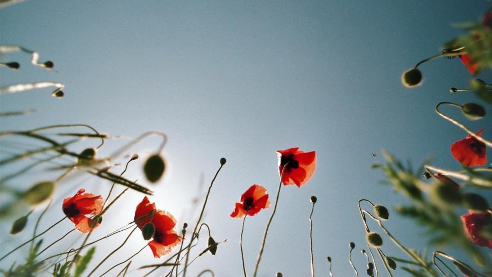 Poppies low angle view wallpaper