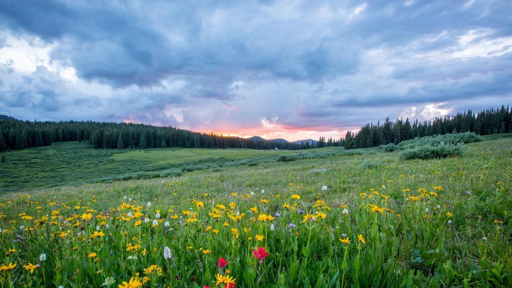 Cloudy spring flower field wallpaper